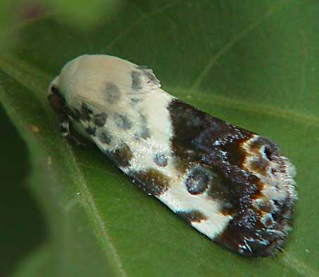 Acontia marmoralis