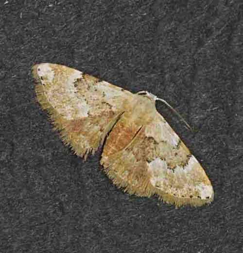 Araeropteron sp
