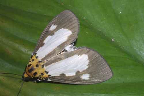 Asota species