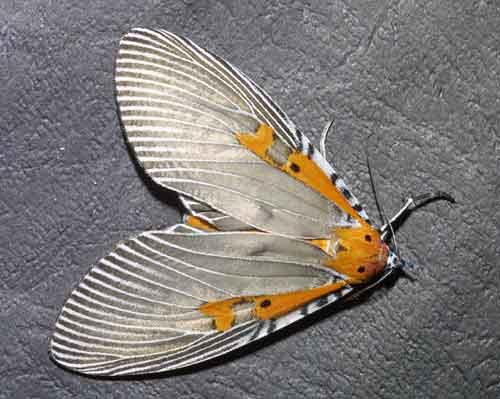 Euplocia membliaria1