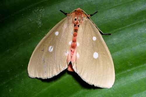 Tinolius species