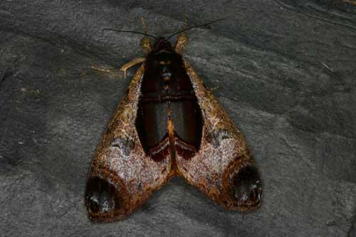 Sarbanissa longipennis