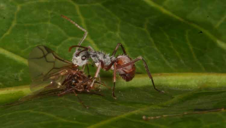 ant-with-prey