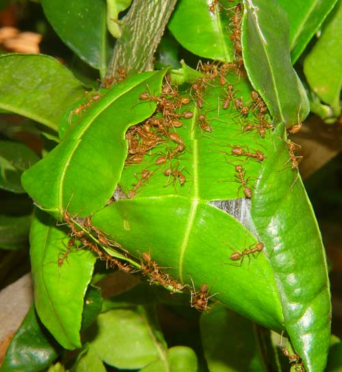 Weaver ants on their nest