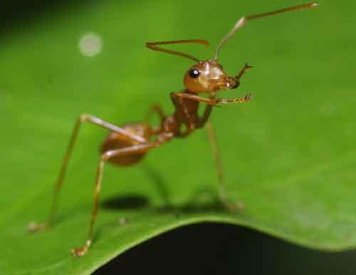read ant