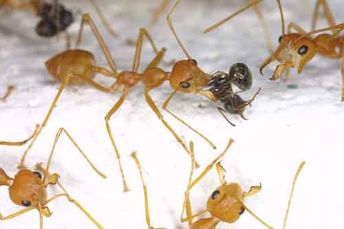 red ant dealing with black ant