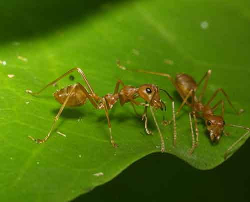 Oecophylla smaragdina (the Green Tree or Weaver ant)