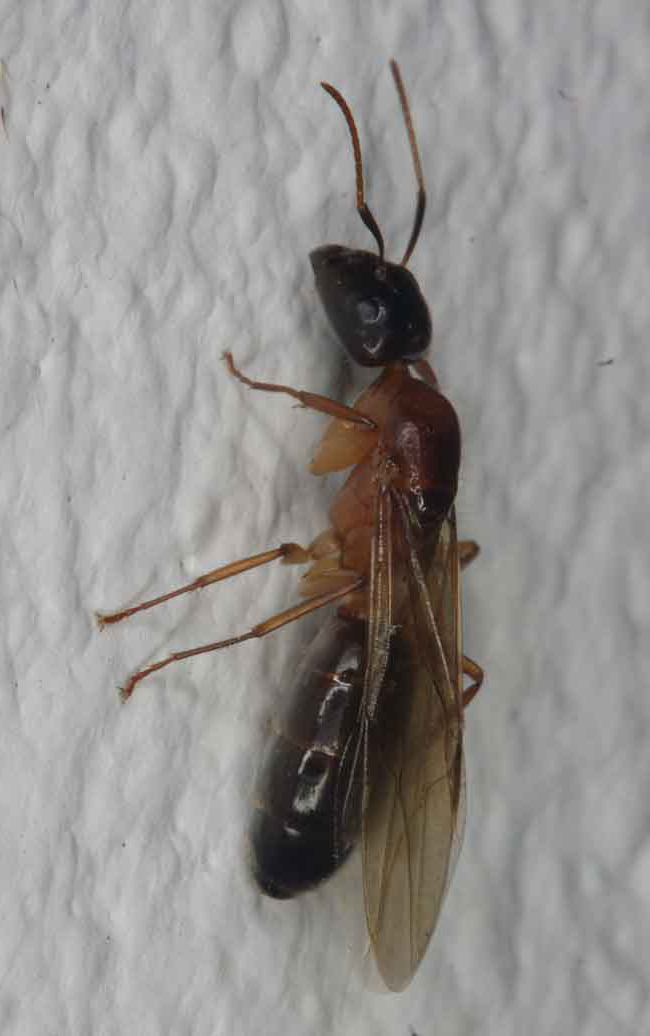 ant (Formicidae), sexual form with wings