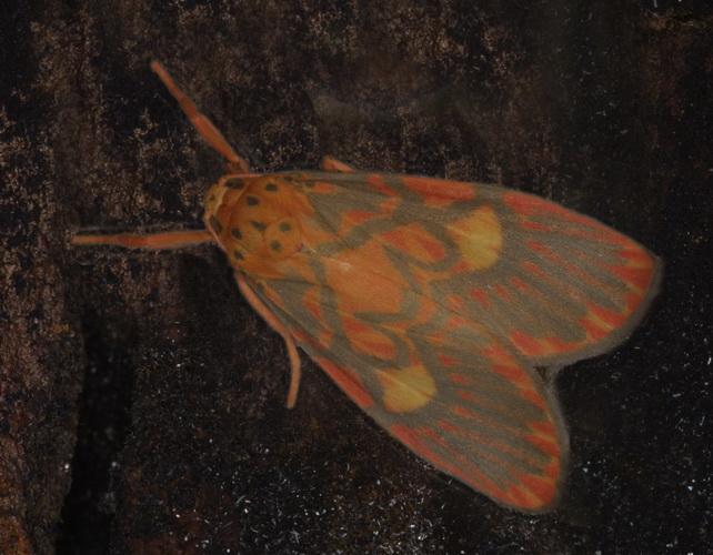 Barsine cuneonotatus or close