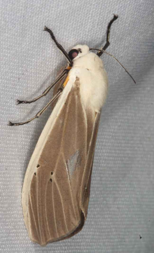 Creatonotus transiens orientalis