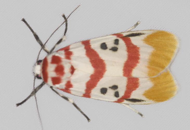 Cyana bellissima (female)