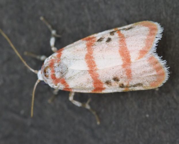 Cyana catorhoda (male)