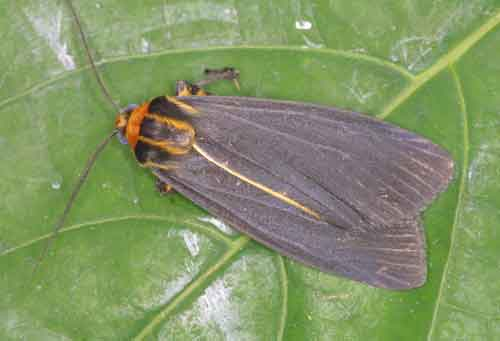 Hesudra species