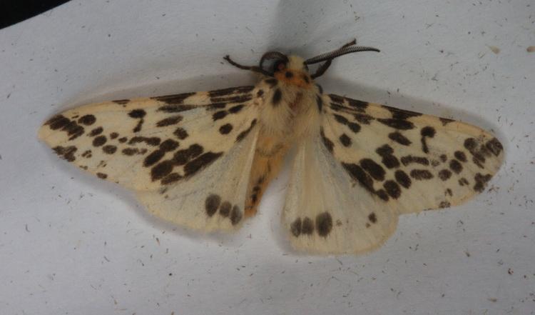 Lemyra maculifascia  2