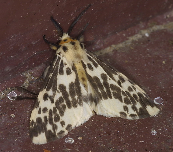 Lemyra maculifascia 1