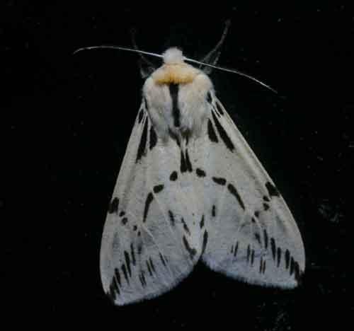 Lemyra melli1
