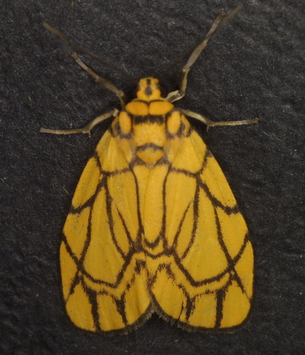 Lyclene conjunctana or close
