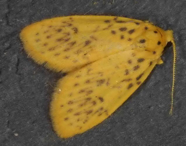Lyclene species 0a