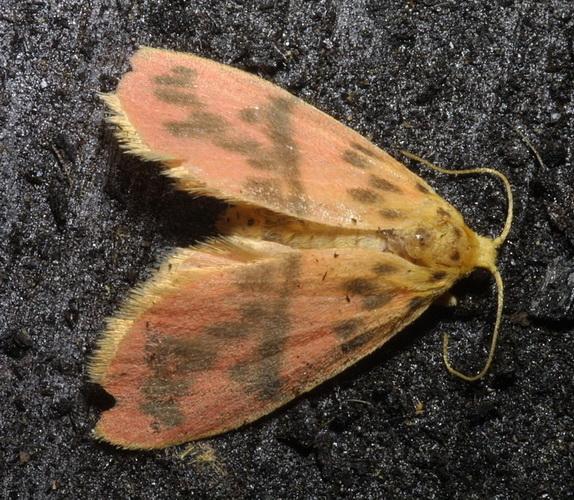 Lyclene species 13