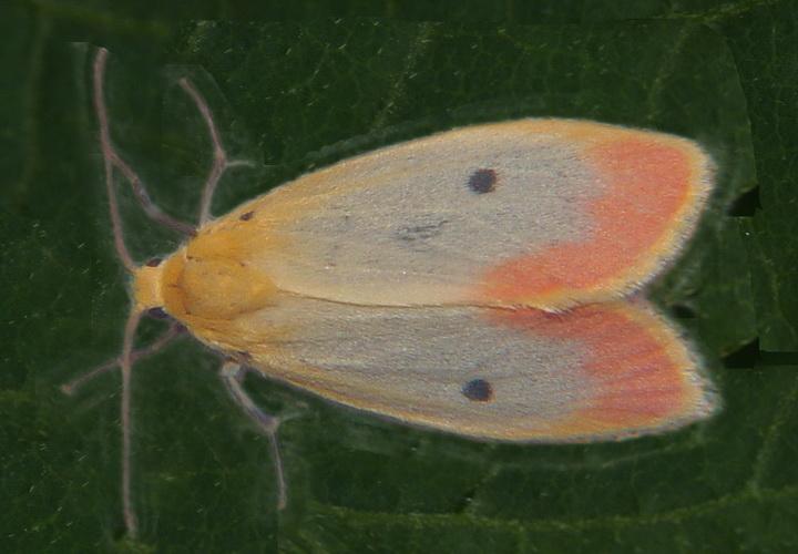 Lyclene species 15