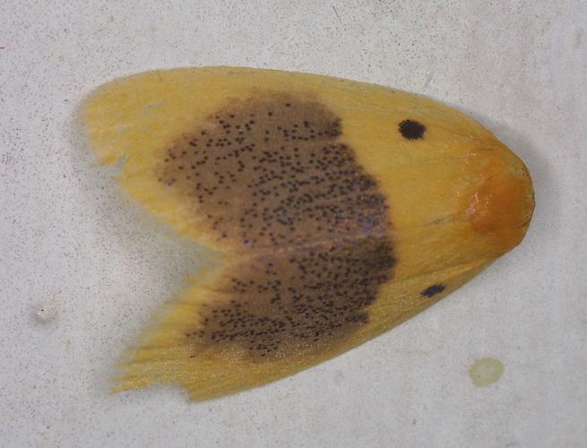 Lyclene species 16