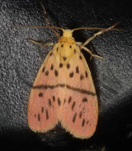 Lyclene species 2