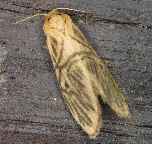 Lyclene species 3
