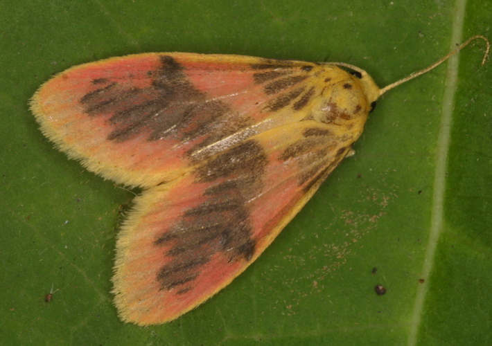 Lyclene species 8