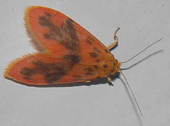 Lyclene species m