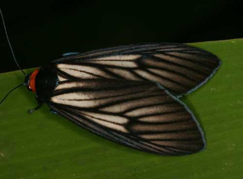 Macrobrochis sp. nr prasena1