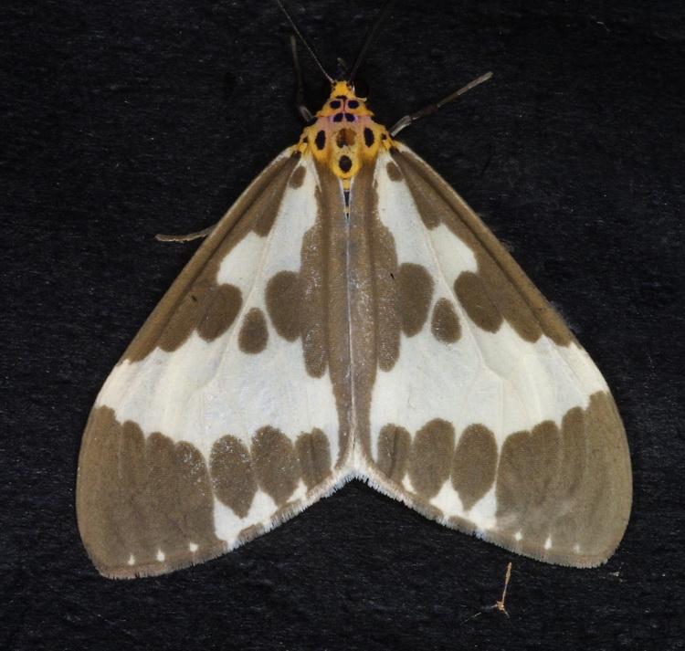 Nyctemera arctata