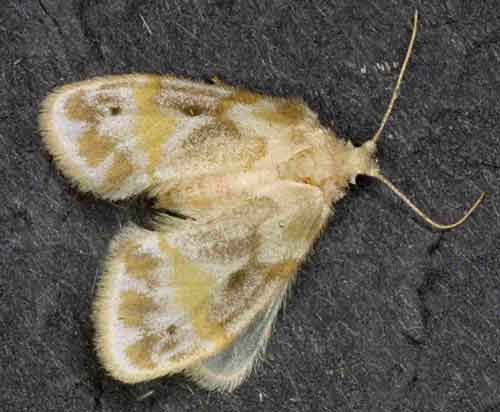Schistophleps species