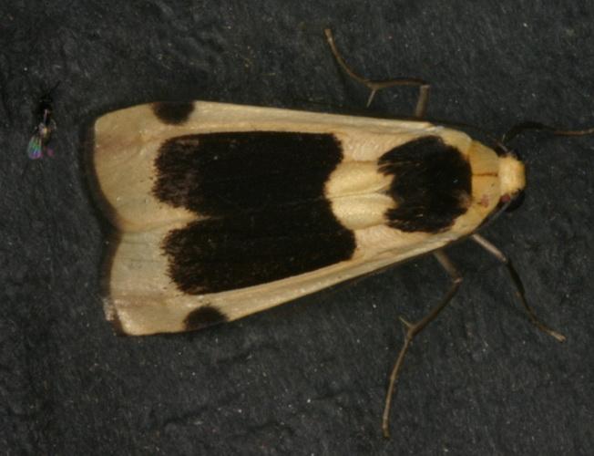 Thysanoptyx sordida