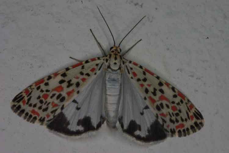 Utetheisa lotrix or pulchel 1