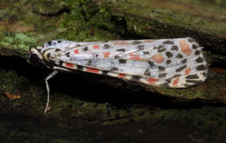 Utetheisa lotrix or pulchelloides
