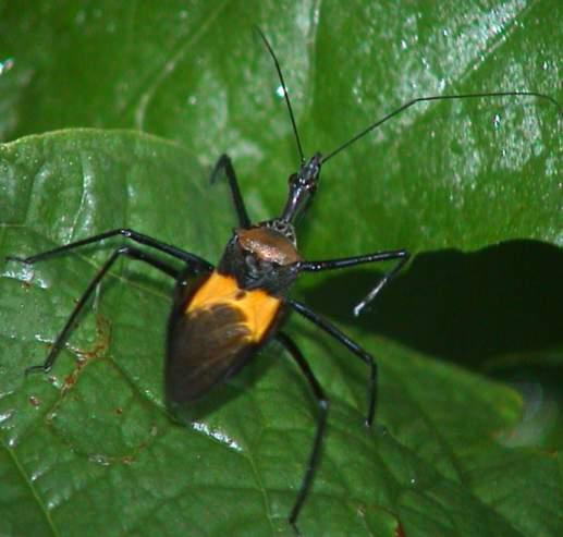 Reduviidae Sycanus villicus