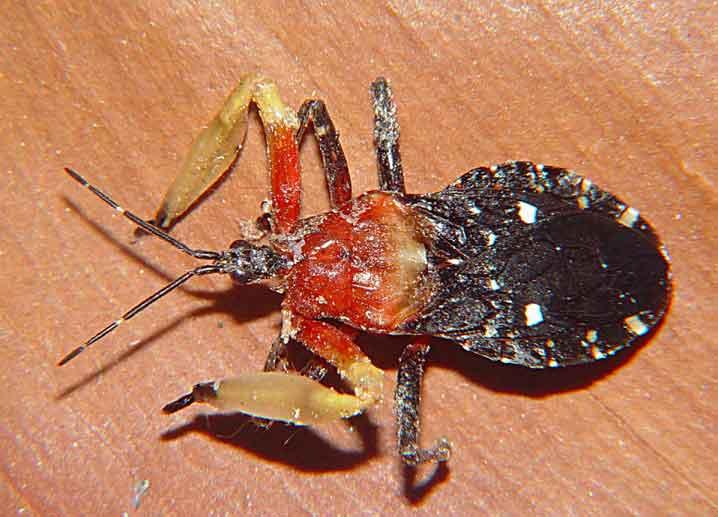 Reduviidae 1