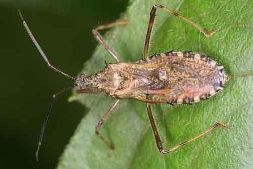 Reduviidae3