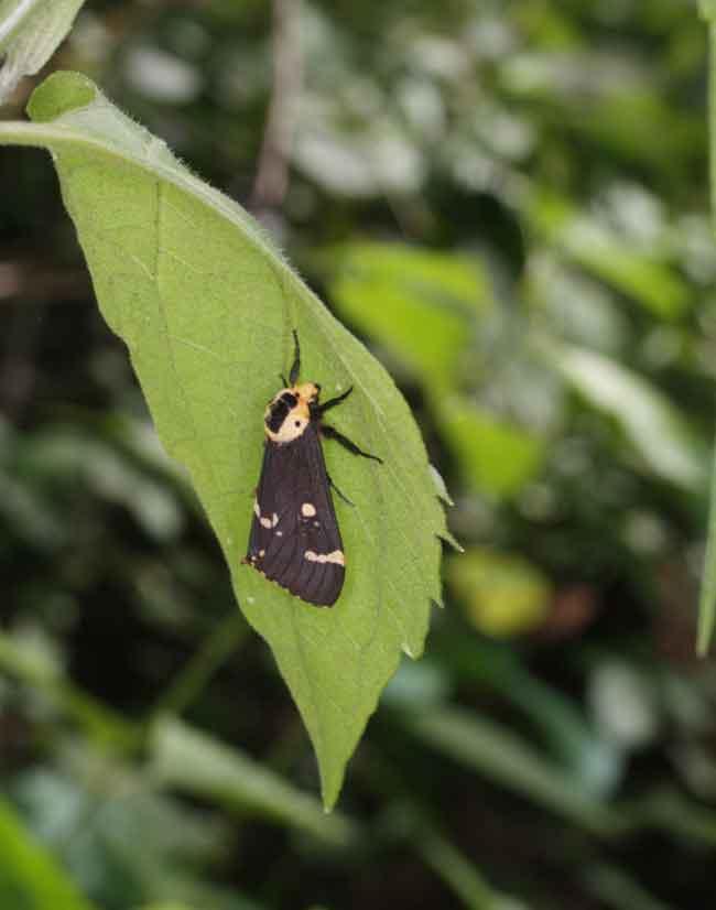 Arctiidae I guess