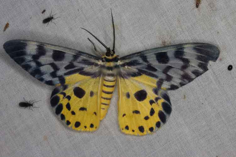 Dysphania sp.