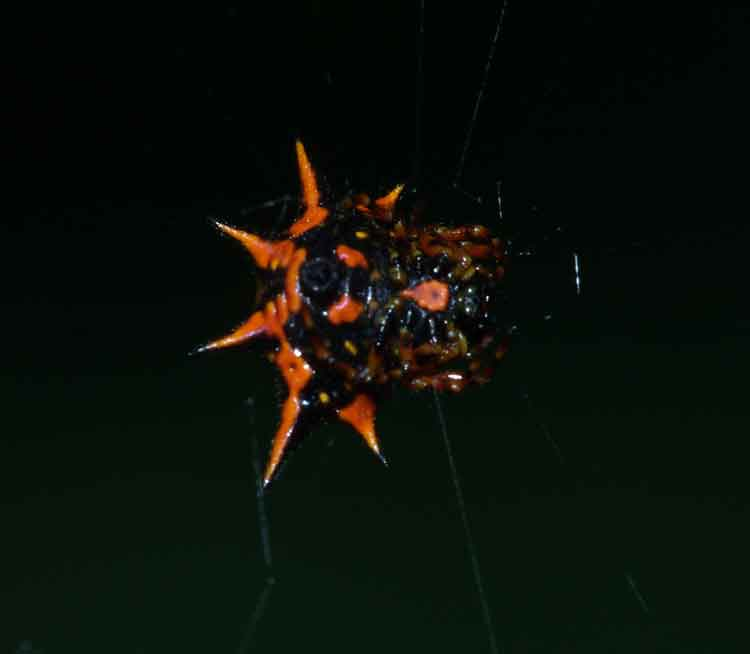 Gasteracantha sp