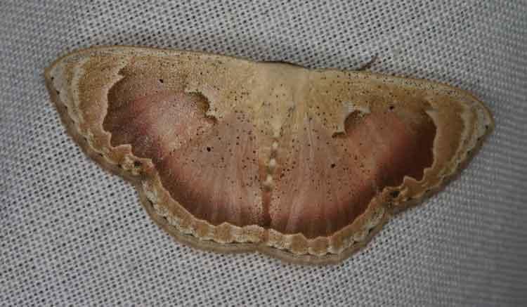 Somatina rosacea (Sterrhinae)