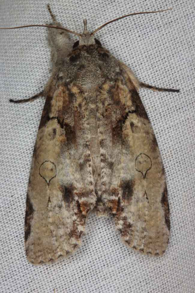 Carea varipes Nolidae