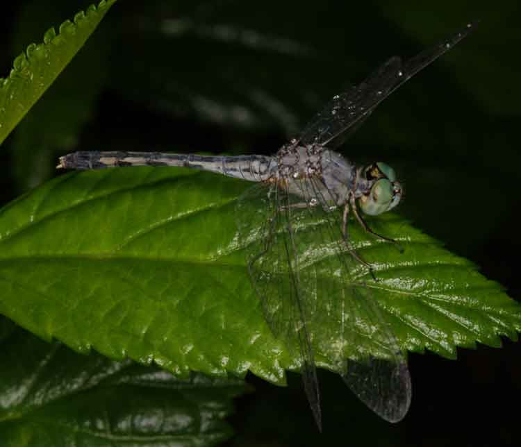 Diplacodes trivialis male