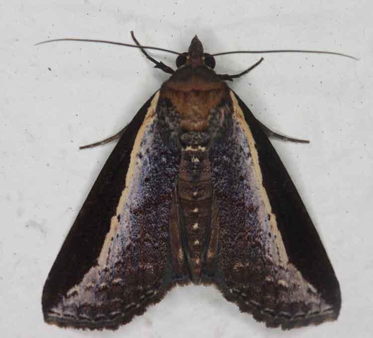 Lophoptera squammigera Noctuid