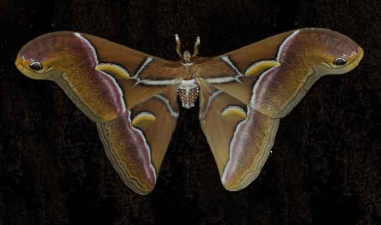 Samia canningii Saturnidae
