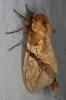 Dudusa synopia Notodontidae