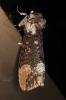 Phalera grotei Notodontidae