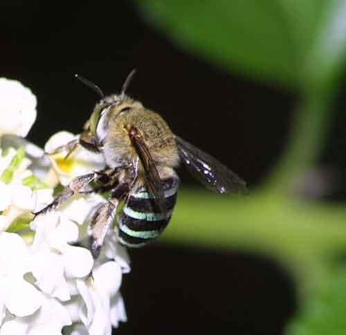 Apidae genus Amegilla