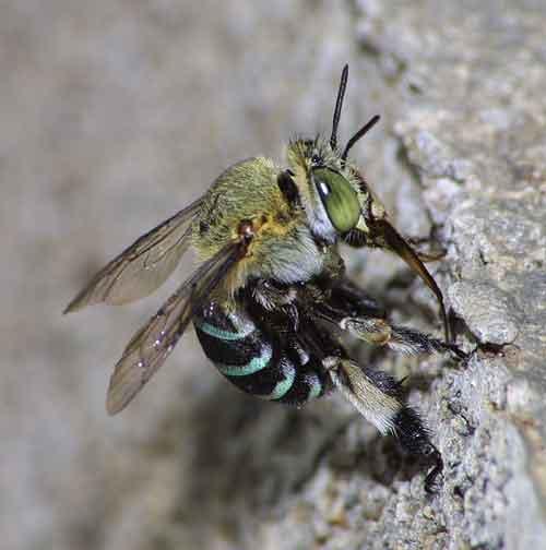 Apidae genus Amegilla 1